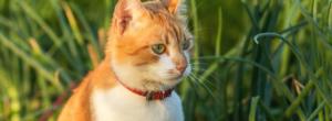 Katt Med Fastinghalsband 300x110