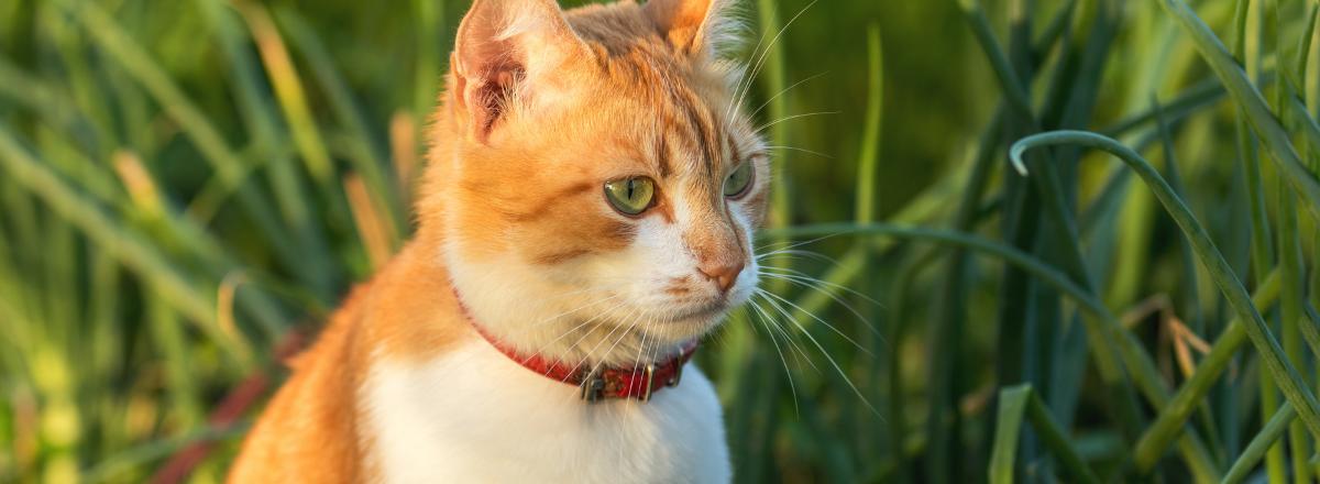Katt Med Fastinghalsband
