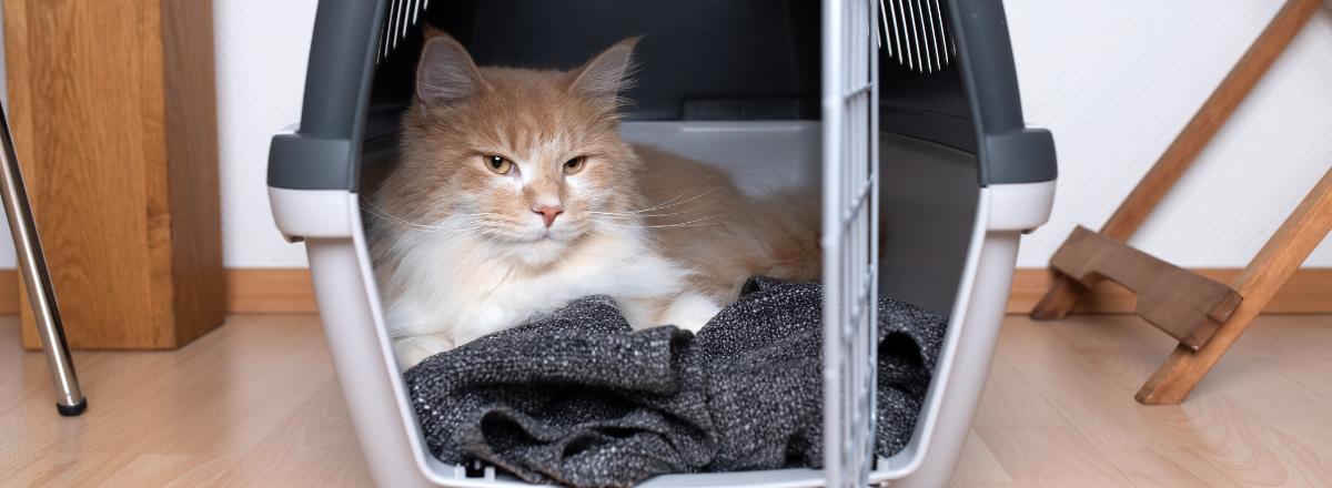 Katt Vilar I Transportbur For Katter