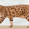 Savannah Katt 120x120