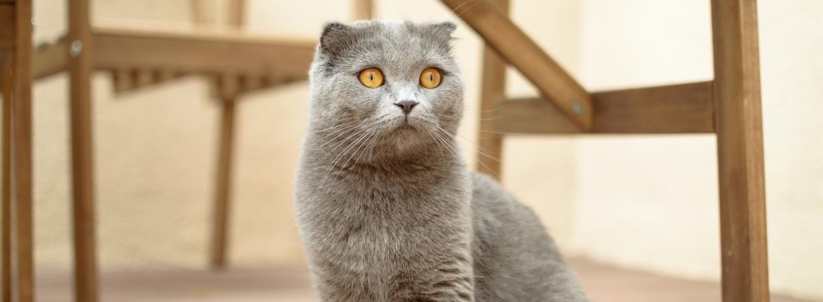Scottish Fold Katt