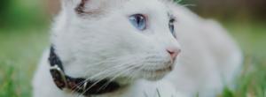 Katt Med Katthalsband 300x110
