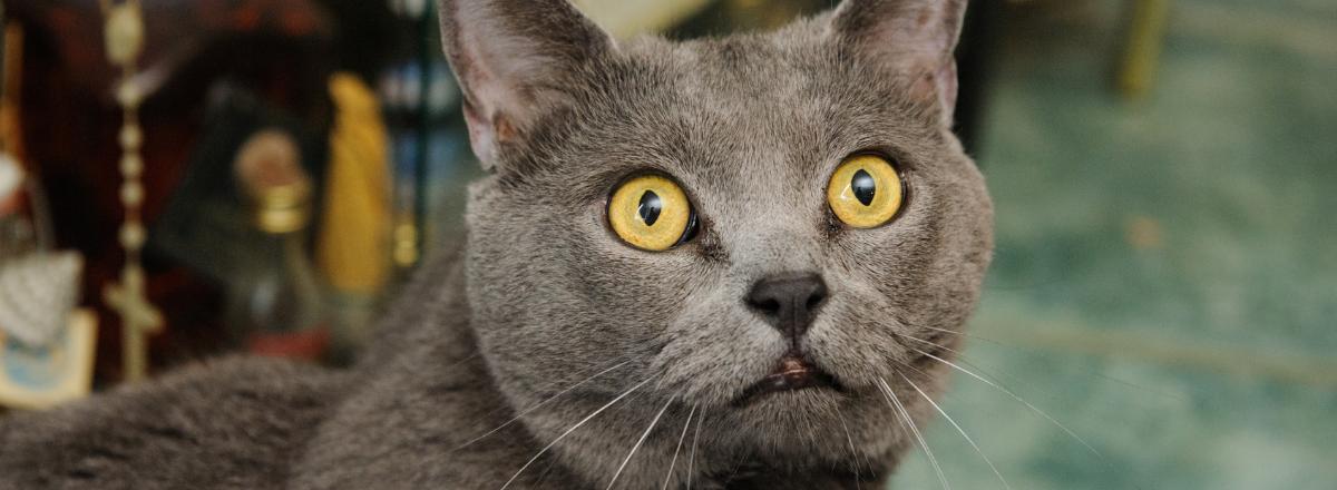 Chartreux Katt