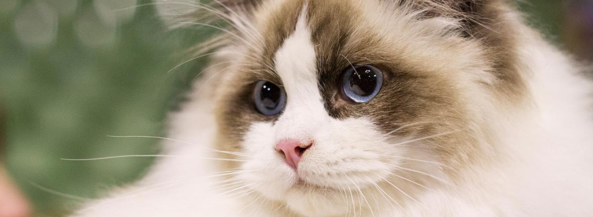 Ragdoll Katt